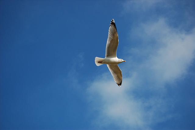 Seagull flying (16-02-2008)